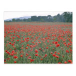 Red Poppy field, Kent, England flowers Post Card