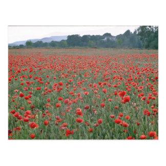 Red Poppy field, Kent, England flowers Postcard