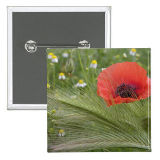 Red poppy flower, Tuscany, Italy Button