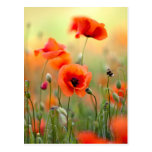 Red Poppy Flowers Post Card