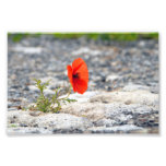 Red poppy in pavement photo print