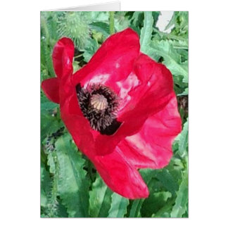 Red Poppy Photo Greet Card & Insp photo/words rear