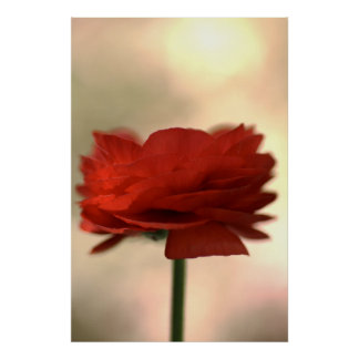 Red Ranunculus Flower Posters