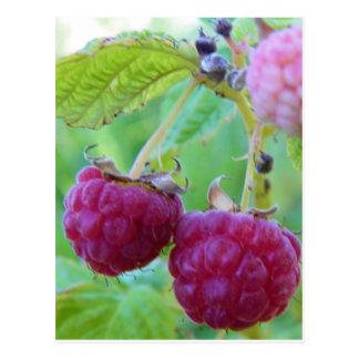 red raspberry gardening berry botany frambuesa postcard