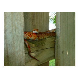 red rat snake in fence head up postcard