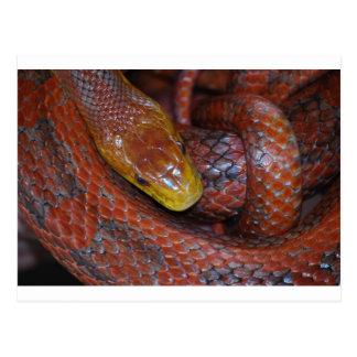 Red Rat Snake Postcard