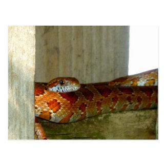 red rat snake side head postcard