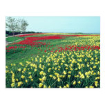 Red Red and white tulips, Kew Gardens flowers Postcard