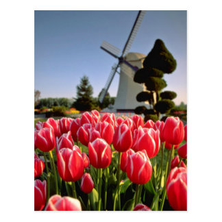 Red Red tulips and windmill flowers Postcard