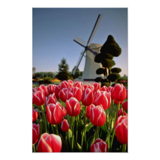Red Red tulips and windmill flowers Poster