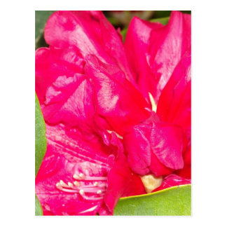 Red Rhodendron Buds Opening Postcard