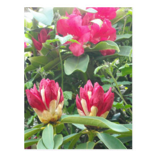 Red Rhodendron Buds Postcard