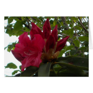Red Rhododendron Flower and Buds Card