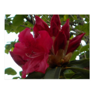 Red Rhododendron Flower and Buds Postcard