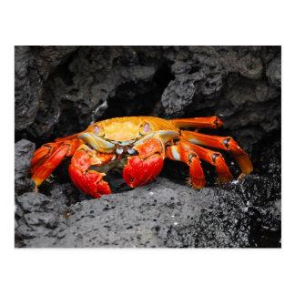 Red rock crab (Grapsus grapsus) Postcard