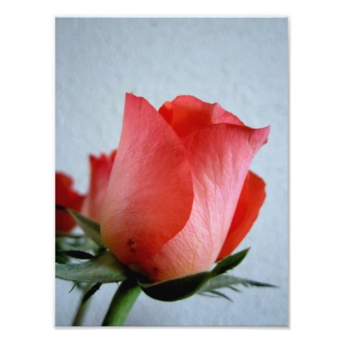 Red rose closeup photo