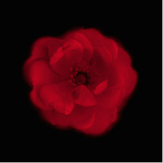 Red Rose. Black Background. Cut Out