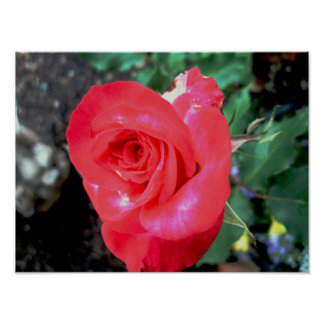 Red Rose Blooming Poster