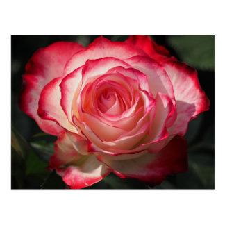 Red rose blossom postcard
