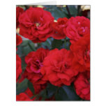 Red Rose Blossoms - flower photography Cards