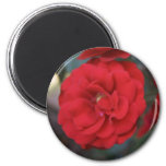 Red Rose Blossoms - flower photography Magnet