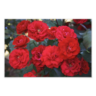 Red Rose Blossoms - flower photography Photo Print