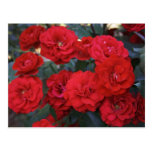 Red Rose Blossoms - flower photography Post Card