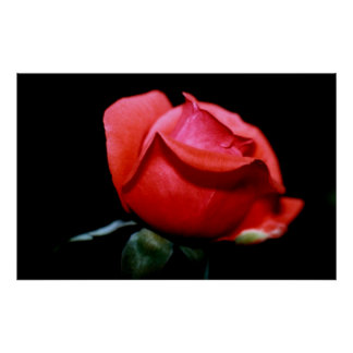 Red Rose Bud Isolated on Black Background Poster