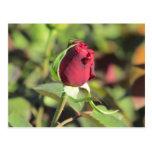 Red Rose Bud Postcard
