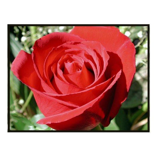 Red Rose Close Postcard