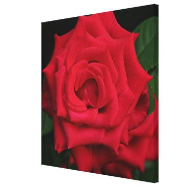 franwestphotography Red rose flower in bloom in the garden canvas print
