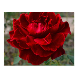 Red Rose Flower Post Cards