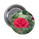 Red rose flowers with water droplets in spring button