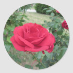 Red rose flowers with water droplets in spring classic round sticker