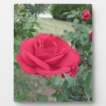 Red rose flowers with water droplets in spring plaque