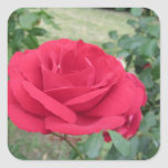 Red rose flowers with water droplets in spring square sticker
