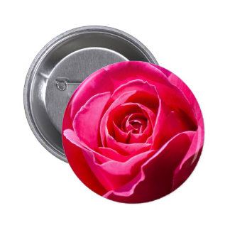 Red rose growing in a garden pinback button