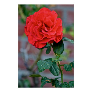 Red rose in bloom poster