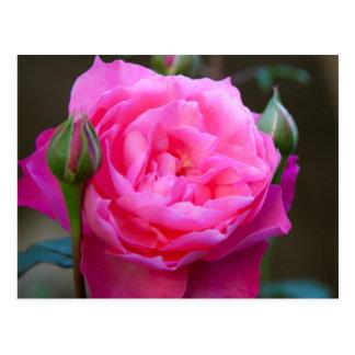 Red Rose In The Garden Of Hotel Carnavalet Postcard