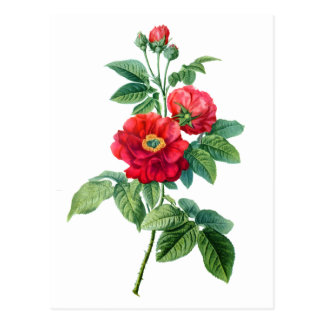 Red Rose of Province Postcard