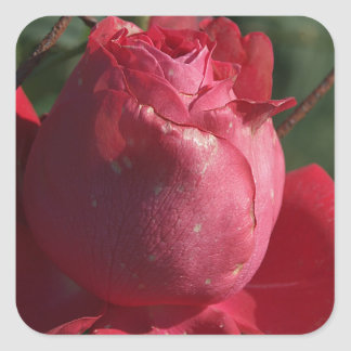 red rose on rusty barbed wire square sticker