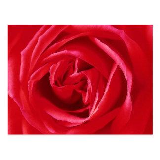 Red rose print postcard