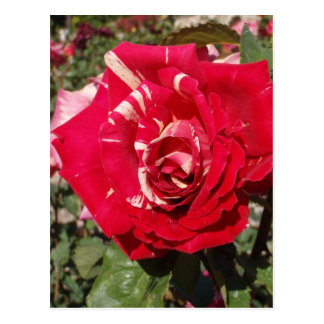 Red Rose With A Splash Of Cream Post Card