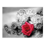 Red Rose with Black and White Background Post Card