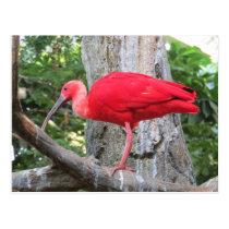 Red Roseate Spoonbill Exotic Bird Postcard