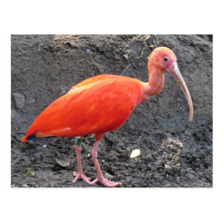 Red Roseate Spoonbill Exotic Bird Postcard