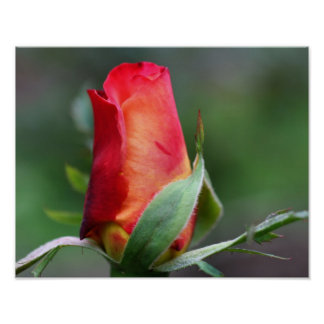 Red Rosebud Flower With Yellow Highlights Poster