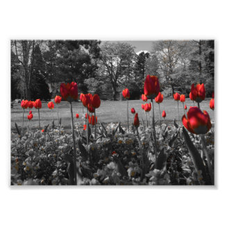red roses in black and white garden photography photo print