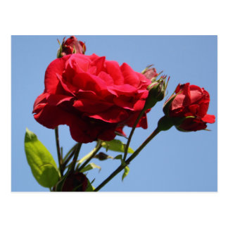 Red Roses with Blue Sky Background Postcard