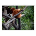 red ruffed lemur c animal on branch back hand postcard